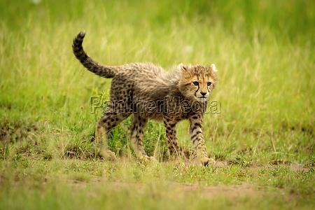 cheetah cub crosses short grass staring