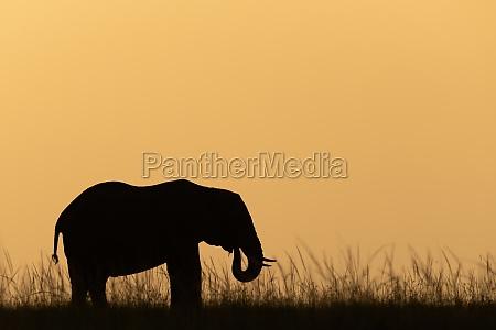 african bush elephant at sunset on