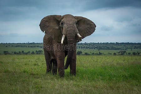 african bush elephant stands in grassy