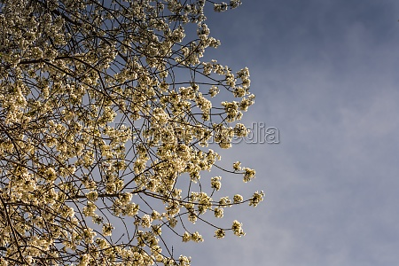 white blossoms on a tree with