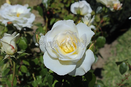 white rose image of a white