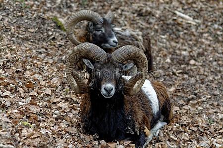 mouflon mammal nature animal horn