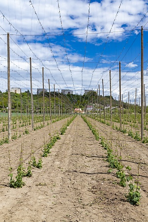 hop field early spring time near