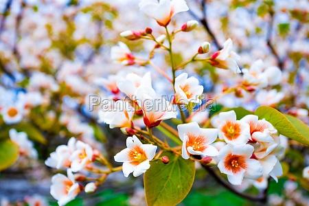 white flowers tree aleurites euphorbiaceae in
