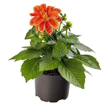 blooming bicolor orange yellow dahlia