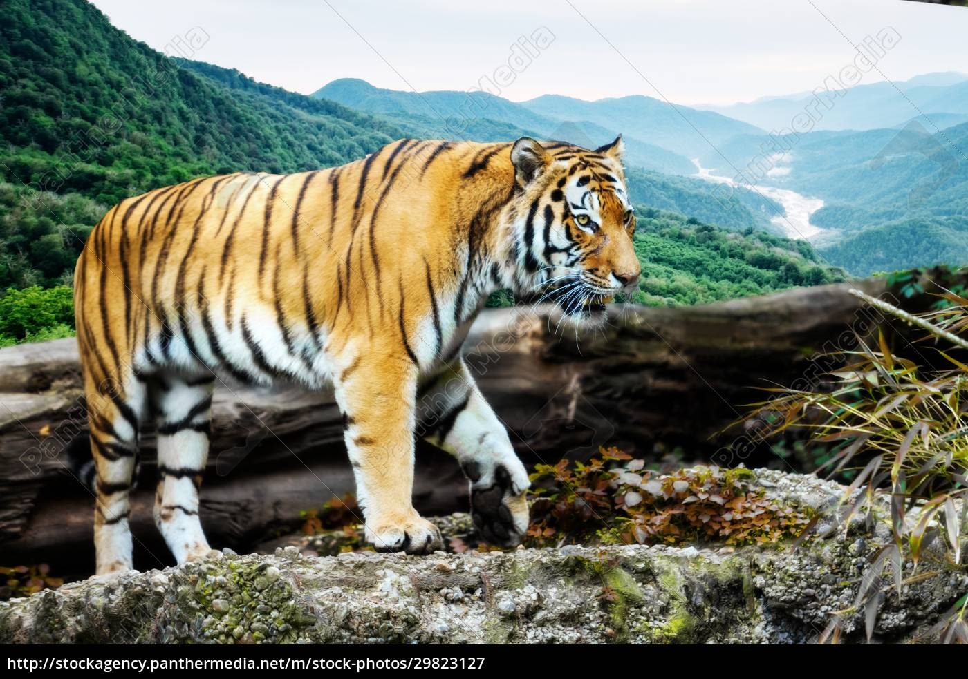 portrait, of, a, tiger, in, the - 29823127