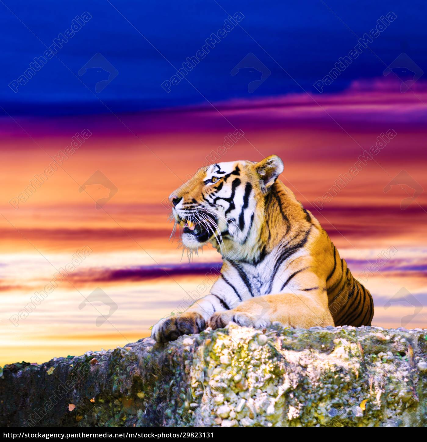 tiger, portrait, on, the, rock, with - 29823131