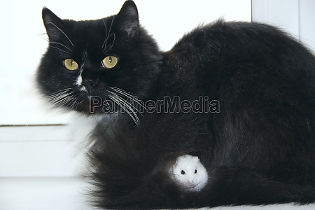small hamster makes friendship with cat