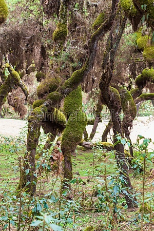 harenna forest biotope in bale mountains