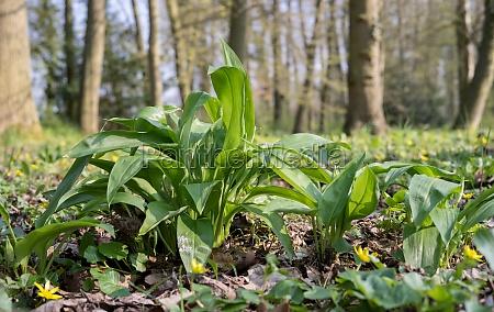 wild garlic plants