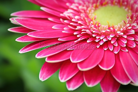 macro of a pink gerbera at