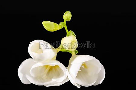 flowers of beautiful white freesia isolated