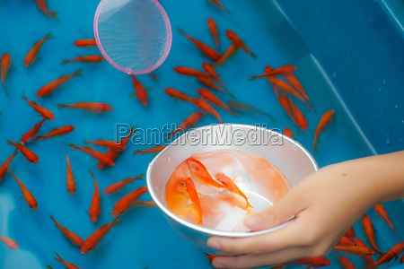 image of goldfish salvation of summer