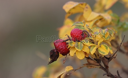 red fruits of wild rose hips