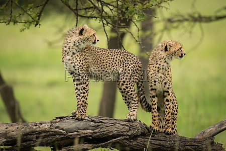 cheetah cubs stand on log looking