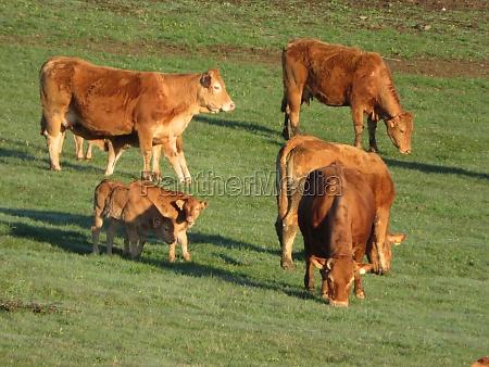 cow cattle animal field meadow calf