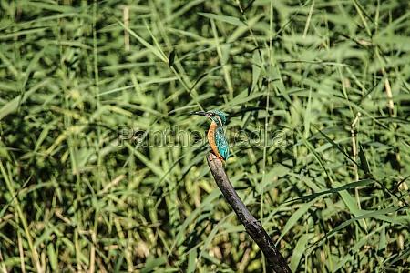 kingfisher image yamato shi izumi forest