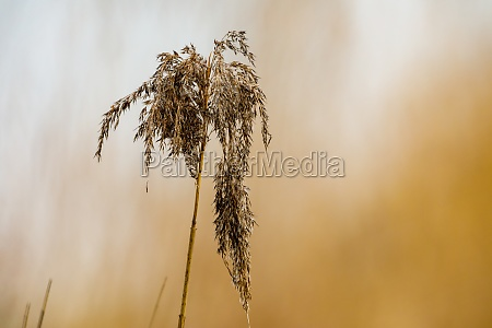 close up of reed in the