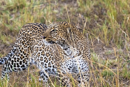 leopard on the lookout hunt of