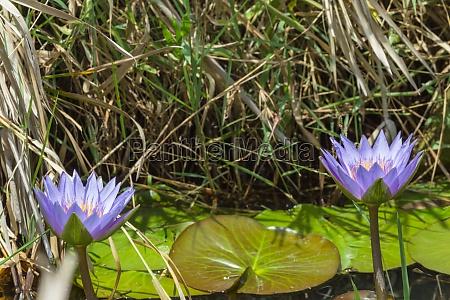blue lily close up masai mara