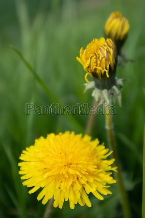 yellow dandelion flowers on green background