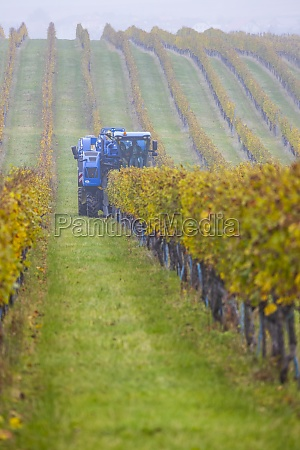 harvesting grapes with a combine harvester
