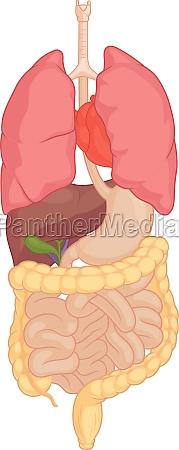 human internal organ anatomy body part