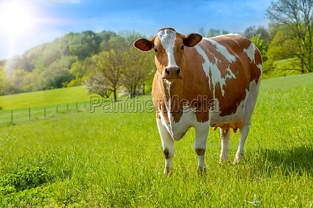 grazing white brown cows on a