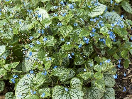 siberian bugloss brunnera macrophylla with variegated