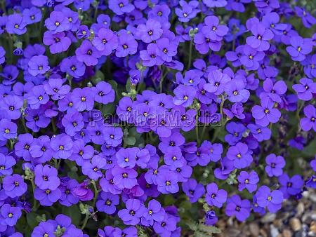 clump of pretty purple aubretia flowers