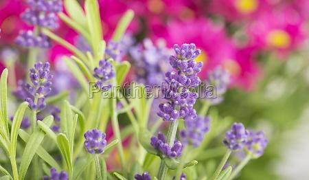 lavender flowers in a garden