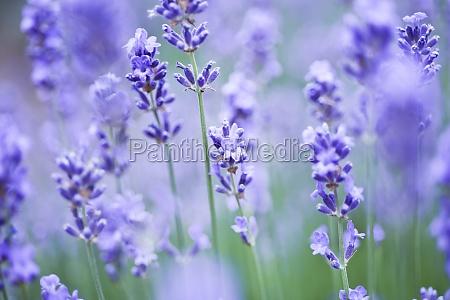 lavender germany