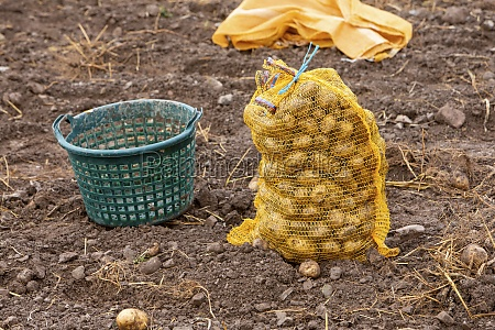 potato harvest a basket and potato