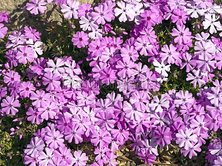 pink creeping phlox flowerng in a