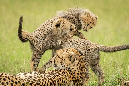 cheetah lying by two cubs play