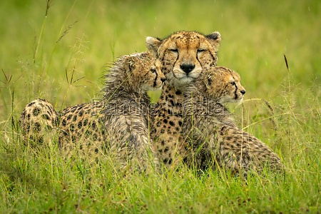 cheetah lies with two cubs in