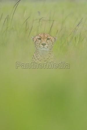 cheetah sits facing camera in blurred