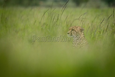cheetah sits facing left in blurry