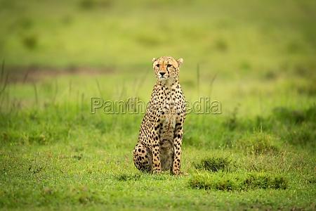 cheetah sits on short grass staring