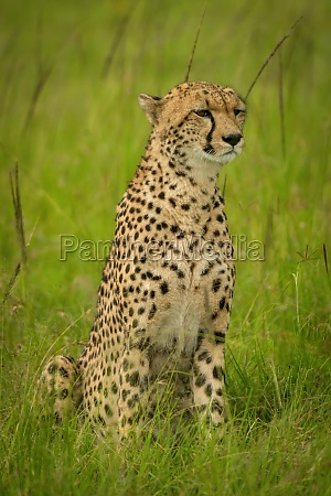 cheetah sits in long grass looking