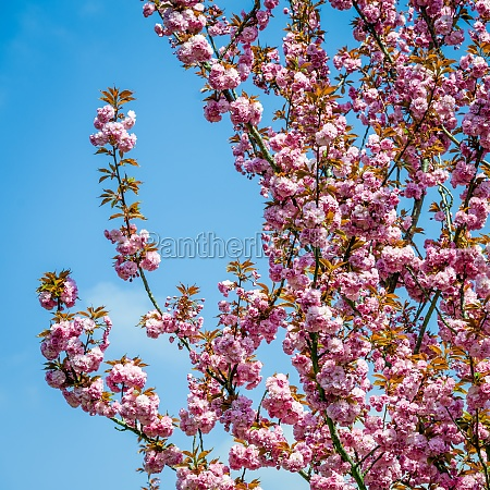 pink flowers are blooming on trees