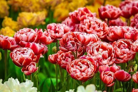floral tulips background tulip field