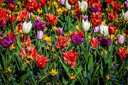 tulips in amazing spring garden detail