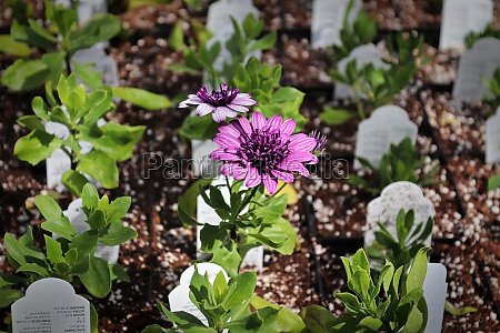 rows of african daisies growing in