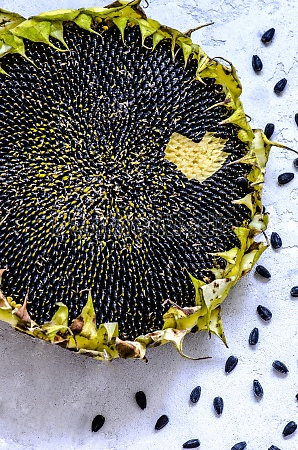 the ripe sunflower and sunflower seeds