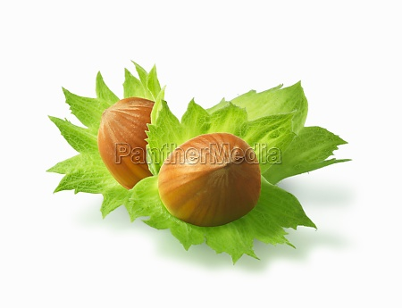 two hazelnuts with leaves illustration