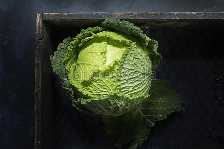 green head of savoy cabbage in