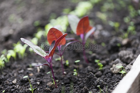 red orach in the greenhouse