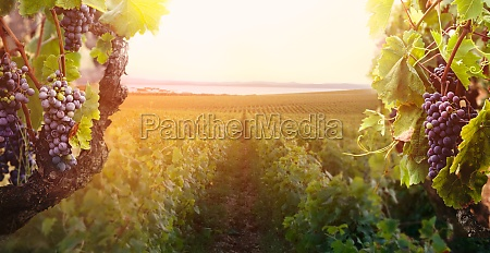 nature background with vineyard in autumn