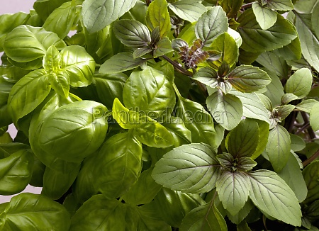 two different types of fresh basil
